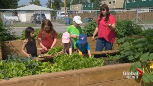 New garden program helps struggling Calgarians enjoy fresh produce
