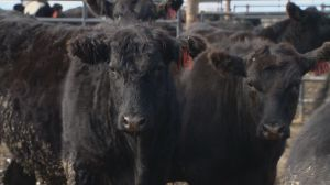 U of S unveils $38M Livestock and Forage Centre of Excellence