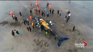 Community comes together to save beached humpback whale in Argentina