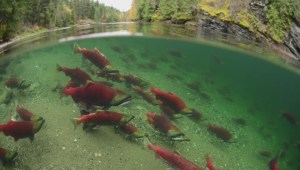 Ottawa accused of silencing critics on salmon virus