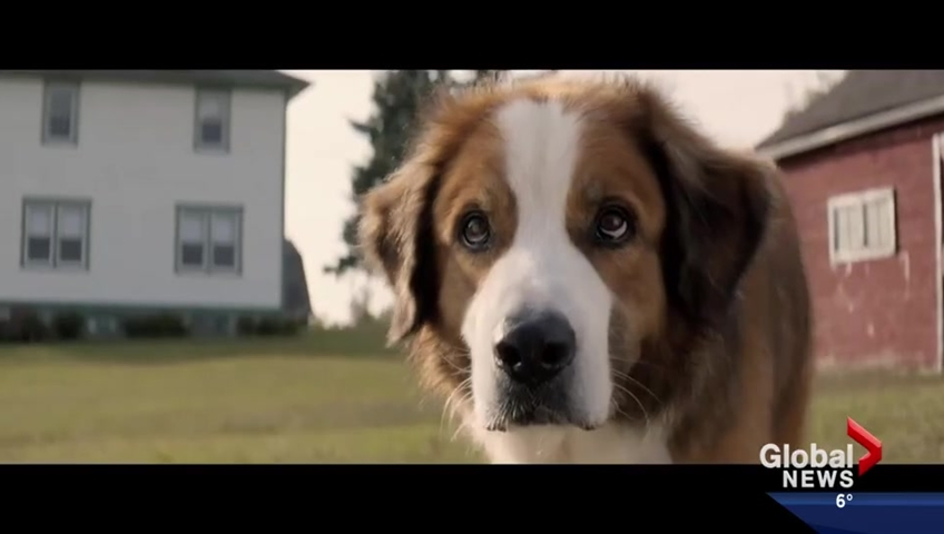 A Dog S Purpose Video Alleging Abuse Was Misleadingly Edited Report National Globalnews Ca