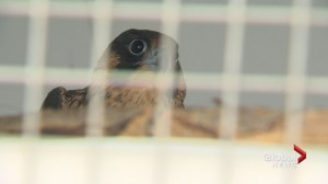 South Health Campus brings in raptors to reduce pigeons