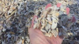 Quagga mussels, worse than zebra mussles and possibly on the way to Manitoba