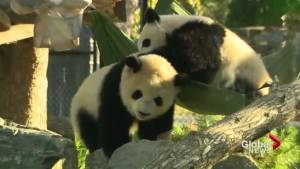 Toronto says goodbye to its pandas (02:21)
