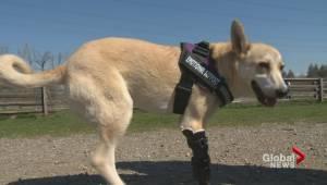Community rallies to help two-legged dog