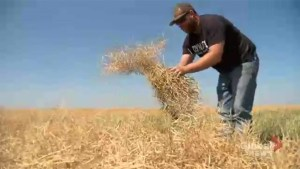 Saskatchewan harvest ahead of 5-year average as field conditions worsen