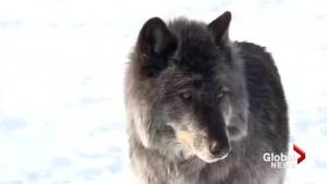Yamnuska Wolfdog Sanctuary looking to the public for funding help