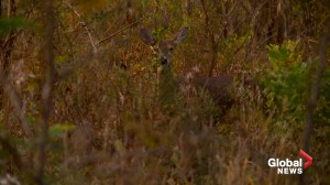 'They eat holes in the animals brain': 'Zombie Deer Disease' causing stir in U.S. midwest