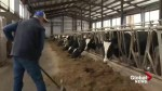 New Brunswick dairy farmer would like to see daylight saving time put out to pasture