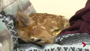 Time running out for injured fawn in West Kelowna