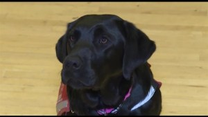 Meet Finley, a Black Lab Diabetic Alert guide dog