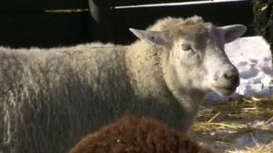 Sheep surprise scientists with facial recognition skills