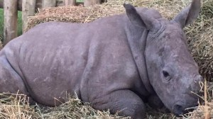 Baby rhinos survive critical days after mothers slaughtered by poachers
