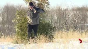 Christmas tree harvest helps tackle invasive spruce trees