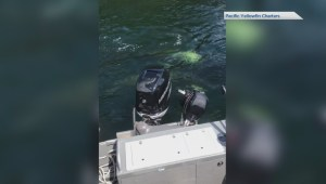 Seal hides from orca behind a motor after it gave chase near Campbell River