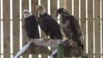Rare golden eagle recovering at Nova Scotia wildlife rehabilitation centre
