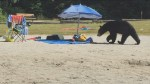 Bear checks out beach-goers food and bags on White Pine Beach