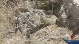 Growing concern over rattlesnake habitats in south Okanagan