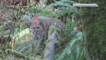 Video shows close encounter with cougar