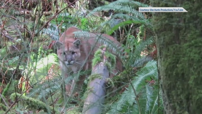 Close encounter with 'a monster tom cougar': Vancouver Island man captures incredible video