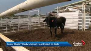 New study throws shade on Calgary Stampede rodeo bulls