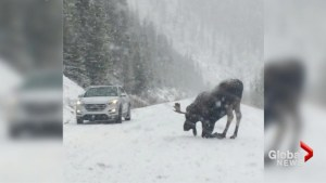 Moose standing stoically in snowstorm brings Jasper traffic to standstill