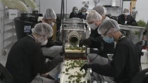 Cannabis company in Smiths Falls preparing for privatized pot sales