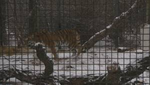 RAW: Volga the Amur tiger is introduced to the Assiniboine Park Zoo