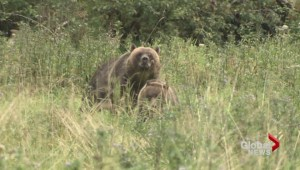 Disturbing grizzly video stirs B.C. hunting debate