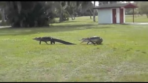 Kingston's Morning Show hosts discuss the latest Florida gator sighting.