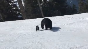 Skier has incredibly close encounter with bear, newborn cub in Whistler