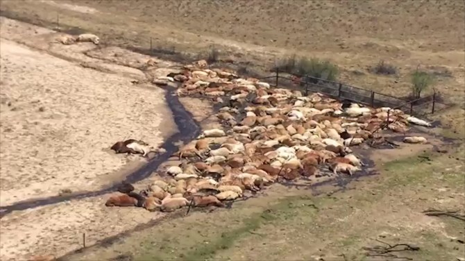 Video shows hundreds of cattle dead in Australia as floodwaters recede
