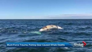 Blunt-force trauma, fishing gear caused whale deaths