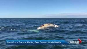 Blunt-force trauma, fishing gear caused whale deaths