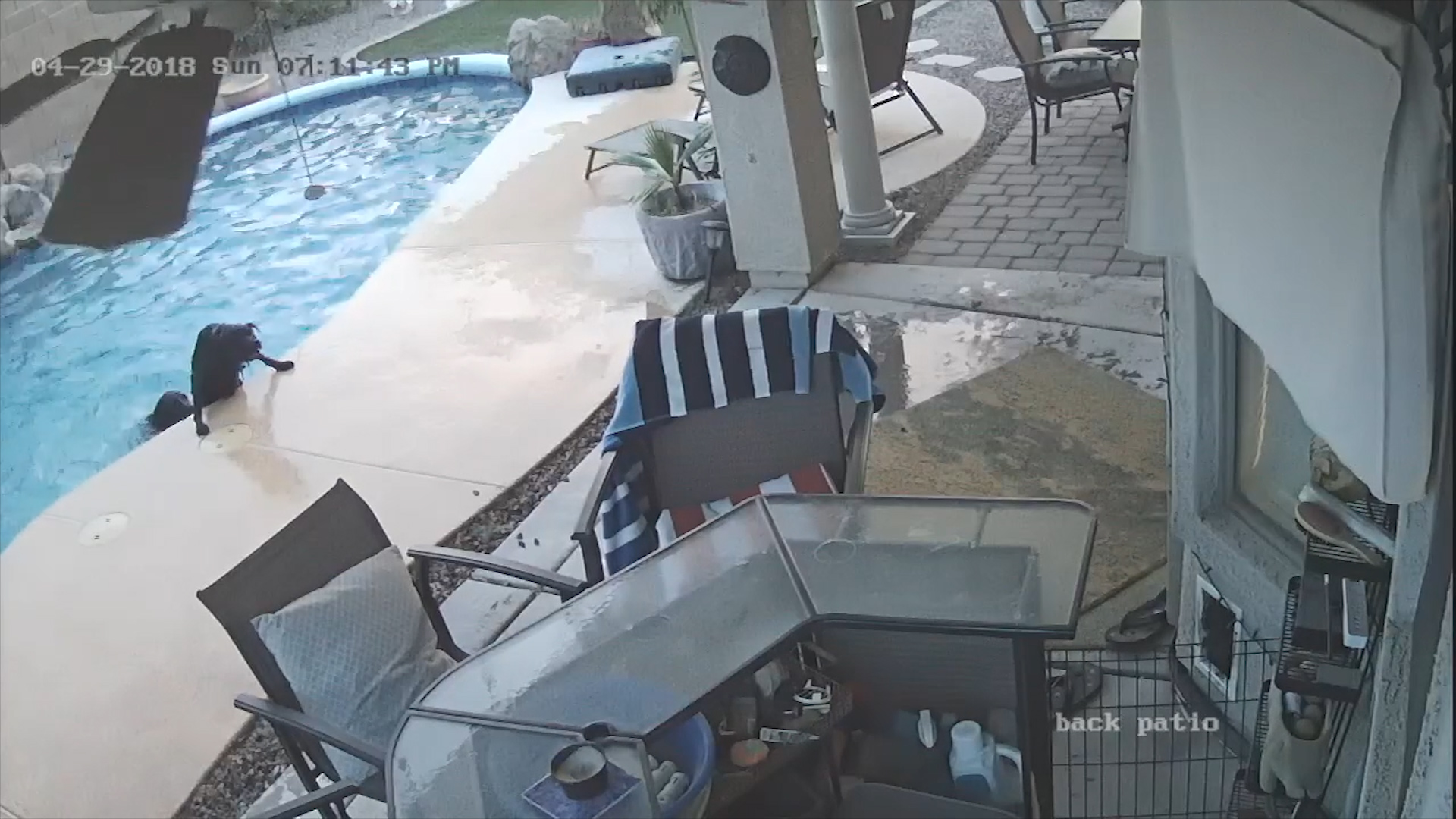 Hero dog saves mate from drowning in backyard pool