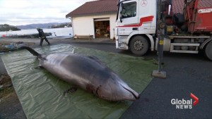 Whale found with 30 plastic bags in its stomach