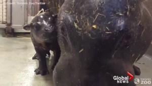 Toronto Zoo introduces rare pygmy hippopotamus calf