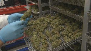 New Brunswick creates Crown corporation to oversee marijuana sales