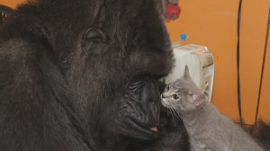 Koko the gorilla adopts two kittens into her family