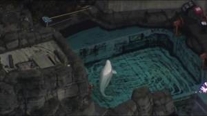 Whale watch: experts flown in to monitor ailing Vancouver beluga