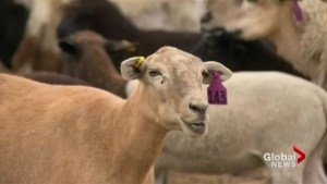 Sheep take over northeast swale outside Saskatoon