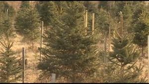 What is cutting into a growing Christmas tree market