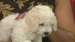 Adopt a pet: Jan the Bichon Frise puppy