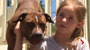 Montreal family says pet pit bull poisoned as Quebec mulls banning breed