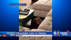 Mountain lion enters Colorado home, kills housecat, takes over an hour to be coaxed out