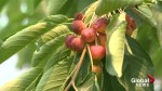 Too much sun a concern for some Okanagan fruit growers