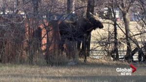 Moose on the loose in Saskatoon