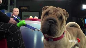 Adopt a Pet: Loki the Shar Pei
