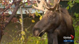 Limping moose temporarily blocks couple from voting in 2017 Calgary election