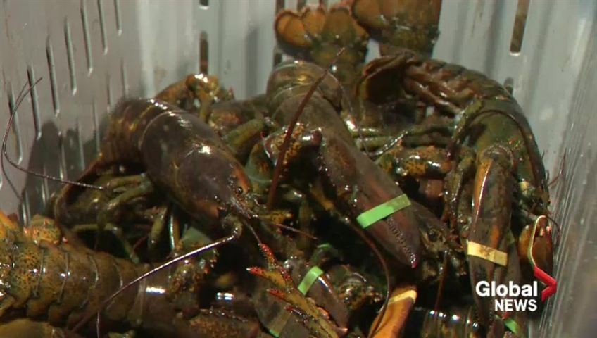 Restaurant to sedate lobsters with marijuana before cooking them